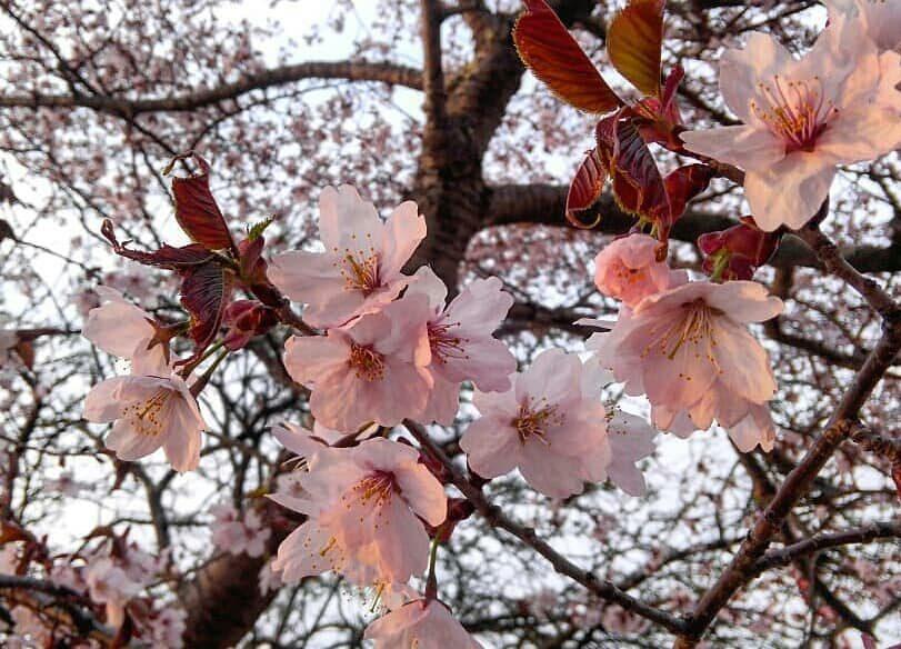 イオンモール札幌発寒 化粧品専門店BellTolls あの微笑みを忘れないで/ZARD/桜/偽りの春/新型コロナウィルス